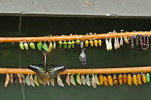 Butterfly and moth pupae hanging from bamboo canes in butterfly house. Note emerging butterflies. Devon, England  -  Adrian Davies