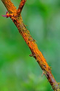 Rose stem (Rosa sp) infected with Rose rust fungus (Phragmidium tuberculatum) - Adrian Davies