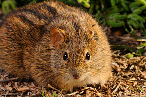 Four-striped mouse (Rhabdomys pumilio) portrait, sitting on ground, Volmoed, Little Karoo, South Africa, July  -  Tony Phelps