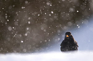 Blackbird (Turdus merula) male foraging on snow covered ground, during a blizzard. Derbyshire, UK. January (non-ex) - Andrew Parkinson