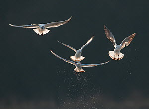Black-headed gulls (Chroicocephalus ridibundus) small flock  in winter plumage, backlit by evening sun, taking off from  lake. Derbyshire, UK, March (non-ex)  -  Andrew Parkinson