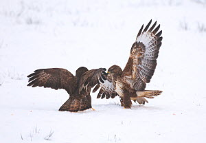 Buzzard (Buteo buteo) pair fighting in a snow covered field. Mid Wales, UK, December.~ (non-ex) - Andrew Parkinson