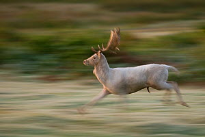 Fallow deer (Dama dama) white stag running during the half light before dawn. Leicestershire, UK. December (non-ex) - Andrew Parkinson