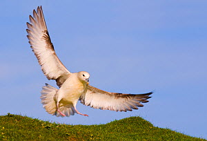 Fulmar (Fulmarus glacialis) landing on a grassy cliff top. Monach Islands, Outer Hebrides, Scotland, UK, May (non-ex) - Andrew Parkinson
