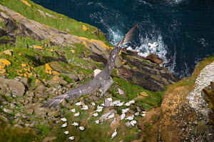 Fulmar (Fulmarus glacialis) in flight, with  view straight down a precipitous cliff face, and resting Northern Gannets (Morus bassanus) Shetland Islands, Scotland, UK, May (non-ex)  -  Andrew Parkinson
