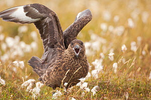 Great Skua (Stercorarius skua) territorial adult displaying to other Skuas passing overhead by stretching out its wings and calling, standing in Cotton grass (Eriophorum) Shetland Islands, Scotland, U...  -  Andrew Parkinson