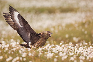 Great Skua (Stercorarius skua) territorial adult displaying to other Skuas passing overhead by stretching out its wings and calling, standing in in Cotton grass (Eriophorum) Shetland Islands, Scotland...  -  Andrew Parkinson