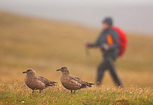 Pair of Great skuas (Stercorarius skua) on a misty moorland with person walking close to their territory. Shetland Islands, Scotland, UK, June.    (non-ex) - Andrew Parkinson