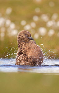 Great skua (Stercorarius skua) bathing in a freshwater pool. Shetland Islands, Scotland, UK, June. (non-ex) - Andrew Parkinson