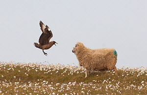 Great skua (Stercorarius skua) attacking a sheep, in an attempt to prevent it wandering too close to its vulnerable chick. Shetland Islands, Scotland, UK, June (non-ex) - Andrew Parkinson