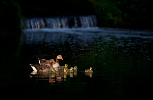 Pair of Greylag geese (Anser anser) and chicks spotlit by dawn sunlight near a small weir. Nottinghamshire, UK, May (non-ex)  -  Andrew Parkinson
