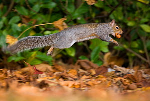 Grey squirrel (Sciurus carolinensis) bounding through autumnal leaves, carrying nut in mouth.~Derbyshire, UK, November (non-ex) - Andrew Parkinson
