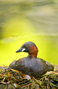 Little grebe (Tachybaptus ruficollis) incubating on floating nest, made of weed debris, Derbyshire, UK, March (non-ex) - Andrew Parkinson