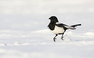 Magpie (Pica pica) hopping along over snow covered ground. Derbyshire, UK, November (non-ex)  -  Andrew Parkinson