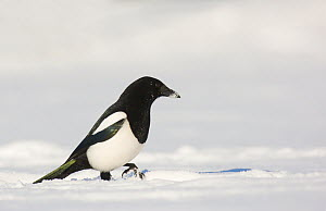 Magpie (Pica pica) foraging on snow covered ground. Derbyshire, UK, January (non-ex)  -  Andrew Parkinson