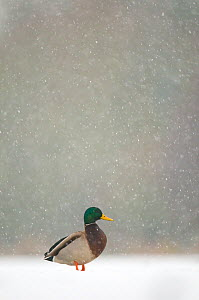 Mallard (Anas platyrhynchos) male standing on a frozen lake during a snowfall, Derbyshire, UK.   (non-ex)  -  Andrew Parkinson