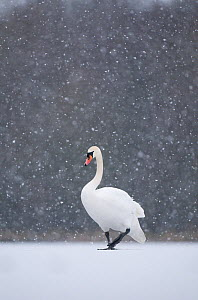 Mute swan (Cygnus olor) walking across a frozen lake during a blizzard. Derbyshire, UK, January (non-ex)  -  Andrew Parkinson