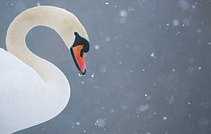 Mute swan (Cygnus olor) head portrait in profile during a blizzard. Derbyshire, UK, January (non-ex)  -  Andrew Parkinson
