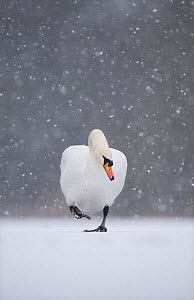 Mute swan (Cygnus olor) walking across frozen lake during a blizzard. Derbyshire, UK, January (non-ex)  -  Andrew Parkinson