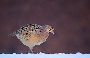 Pheasant (Phasianus colchicus) female walking in  snow covered field. Mid Wales, UK, December (non-ex) - Andrew Parkinson
