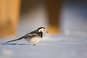 Pied wagtail (Motacilla alba yarrellii) foraging among picnic tables on snow covered ground. Derbyshire, UK, January (non-ex)  -  Andrew Parkinson