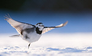 Pied wagtail (Motacilla alba yarrellii) taking off from snow covered ground. Derbyshire, UK, January (non-ex)  -  Andrew Parkinson