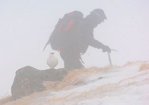 Ptarmigan (Lagopus mutus) in white winter plumage framed by a walker passing by during a blizzard.   Cairngorm Mountains, Scotland, UK. February  (non-ex) - Andrew Parkinson