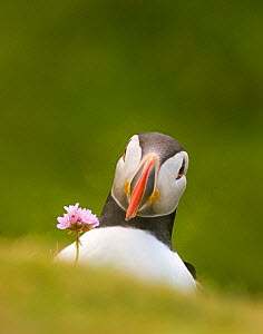 Puffin (Fratercula arctica) head portrait, and single flower of Thrift (Ameria maritima) Shetland Islands, Scotland, UK, July  (non-ex)  -  Andrew Parkinson