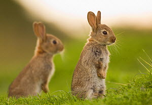 Two juvenile Rabbits (Oryctolagus cuniculus) sitting upright near their warren. Norfolk, UK. June (non-ex)  -  Andrew Parkinson