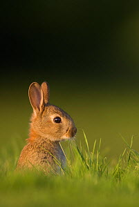 Juvenile Rabbit (Oryctolagus cuniculus) head portrait, sitting upright near their warren. Norfolk, UK. June (non-ex)  -  Andrew Parkinson