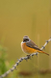 Redstart (Phoenicurus phoenicurus) perched on a barbed wire fence during autumn migration. Norfolk, UK, September (non-ex) - Andrew Parkinson