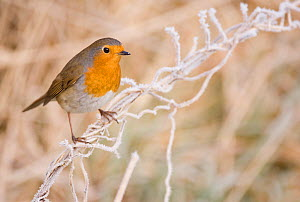 Robin (Erithacus rubecula) perched on a frosted grass stem. Scotland, UK. January.   (non-ex)  -  Andrew Parkinson