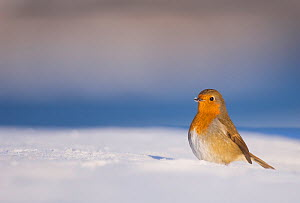 Robin (Erithacus rubecula) standing alert on snow covered ground, Derbyshire, UK. January (non-ex)  -  Andrew Parkinson