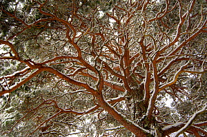 Scots pine (Pinus sylvestris) view from below of a mature tree covered in snow. Cairngorms National Park, Scotland, UK. February  (non-ex)  -  Andrew Parkinson