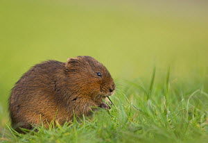 Water vole (Arvicola terrestris) feeding on a grass bank. Derbyshire, UK, April (non-ex)  -  Andrew Parkinson