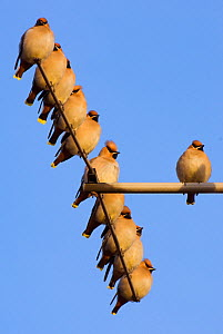 Small flock of Waxwings (Bombycilla garrulus) perched on a house TV aerial. Nottinghamshire, UK, January.  (non-ex)  -  Andrew Parkinson