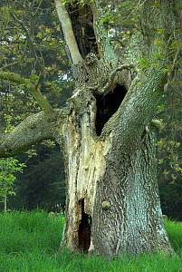 Ancient Ash tree (Fraxinus ecelsior) with hollow trunk, Upton Country Park, Dorset, England, UK. May 2008 - Colin Varndell