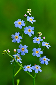 Water Forget-me-not (Myosotis scorpioides) in flower. Kingcombe Meadows nature reserve, Dorset, England, UK, June - Colin Varndell