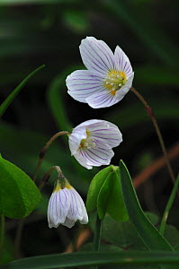 Wood sorrel (Oxalis acetosella) in flower, Dorset, UK, April - Colin Varndell