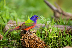 Painted Bunting (Passerina ciris) perched on fir cone, on grass, Red Corral Ranch, Texas, USA, April  -  Suzi Eszterhas