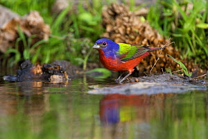 Painted Bunting (Passerina ciris) at edge of water, with reflections, Red Corral Ranch, Texas, USA, April  -  Suzi Eszterhas