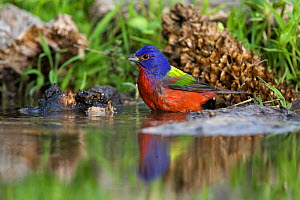 Painted Bunting (Passerina ciris) bathing at edge of water, with reflections, Red Corral Ranch, Texas, USA, April  -  Suzi Eszterhas