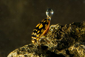 Sunburst / Marbled diving beetle (Thermonectus marmoratus) swimming underwater with air bubble, Red Corral Ranch, Texas, USA - Suzi Eszterhas