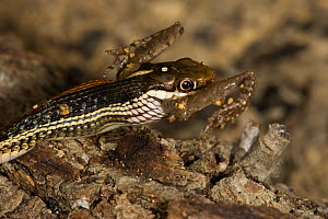 Redstripe Ribbon Snake (Thamnophis p. rubrilineatus) swallowing Blanchard�s Cricket Frog (Acris crepitans blanchardi) Red Corral Ranch, Texas, USA - Suzi Eszterhas