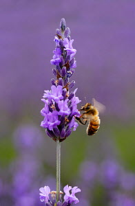 Honey bee (Apis mellifera) feeding from Lavender (Lavandula) flowers, Mayfield Lavender Farm, North Downs, Surrey, UK, July - Russell Cooper
