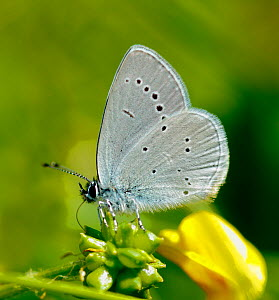 Small Blue Butterfly (Cupido minimus) at rest on flower, Surrey, UK, June.  -  Russell Cooper