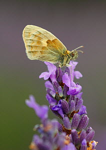 Small Heath Butterfly (Coenonympha pamphilus) on Lavender (Lavandula sp.) flowers, Mayfield Lavender Farm, North Downs, Surrey. UK, July - Russell Cooper