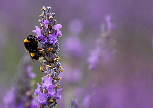 Bumblebee (Bombus terrestris) feeding from Lavender (Lavandula sp.) flowers Mayfield Lavender Farm, North Downs, Surrey. UK July - Russell Cooper