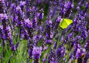 Brimstone Butterfly (Gonepteryx rhamni) feeding from Lavender flowers (Lavandula sp.) Mayfield Lavender Farm, North Downs, Surrey. UK, July - Russell Cooper