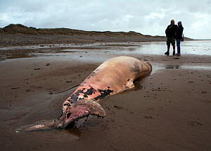 Scientist from the Welsh Marine Environmental Monitoring team and ranger from Kenfig Nature Reserve looking at the carcass of a Sowerby's Beaked Whale (Mesoplodon bidens), washed up on the coast near...  -  Toby Roxburgh